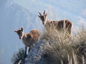 Female Ibex, Boca de la Pesca